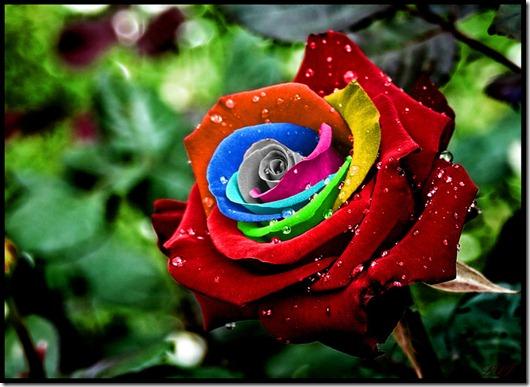 Rainbow-Rose21